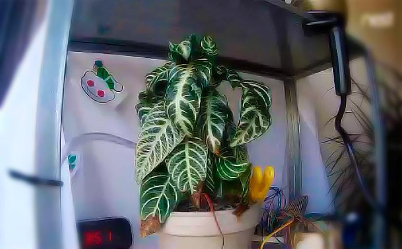 Imagen en directo de Freyja, la planta que se riega con una Raspberry Pi